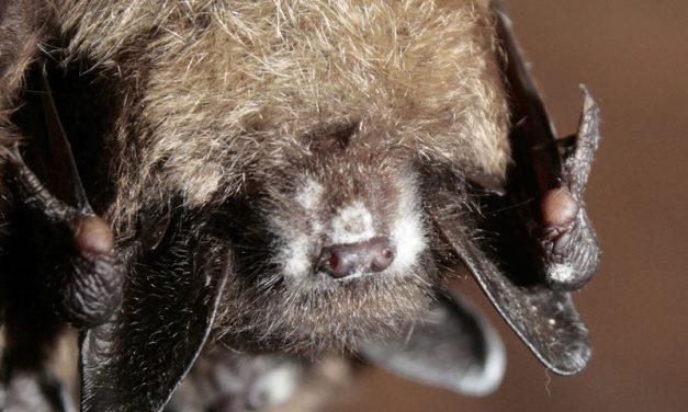 Les chauves-souris et les autres animaux sauvages pourraient avoir la rage: évitez leur contact!