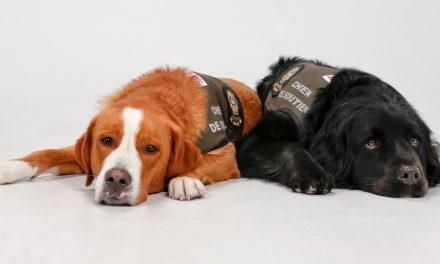 Kevlar et Sundae: Les deux nouvelles recrues canines de la Sûreté du Québec