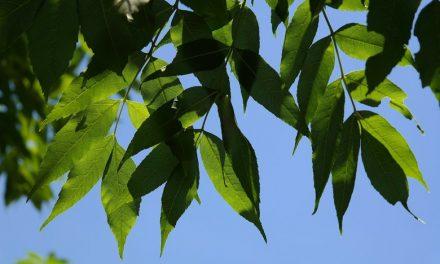 Soutien aux résidents pour le traitement des frênes