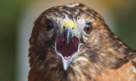 La bibliothèque municipale de Lavaltrie vous présente : Ces oiseaux qui nous entourent